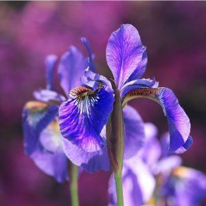 Ириси (Iris) или перуника са род растения от разнообразното семейство Перуникови (Iridaceae).