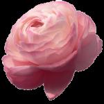 Ранункулус - едно очарователно цвете