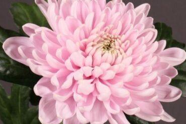 Хризантема на Антонов Сатен розов