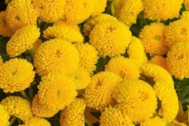 Хризантема Златна топка